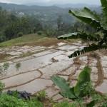 Ella - polja riže