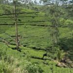 Ella plantaže čaja