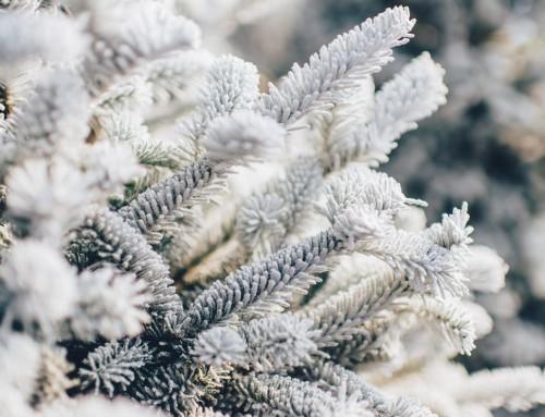 Koje će božićno drvce krasiti Vaš dom za blagdane?