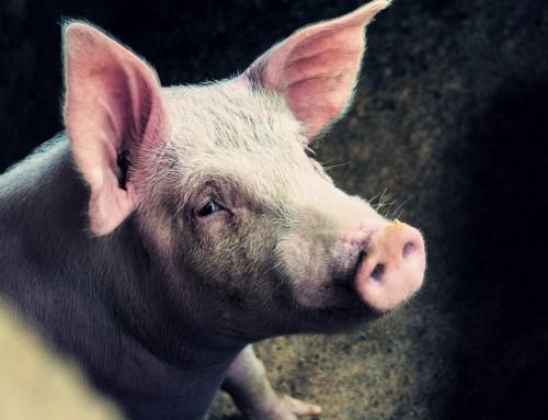 Učinkovitim mjerama spriječena pojava afričke svinjske kuge u Hrvatskoj