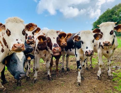 U sklopu mjere pomoći malim mljekarama otkupljeno i donirano 80 tona mliječnih proizvoda