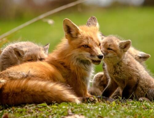 Počinje jesenska akcija oralne vakcinacije lisica